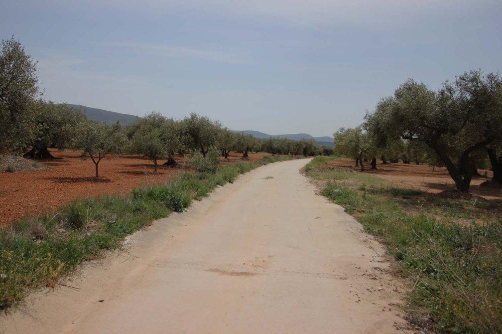 camino olivos milanarios
